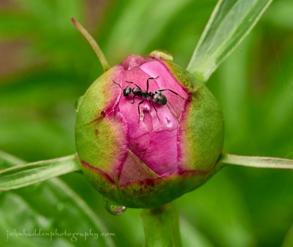 peony-ant