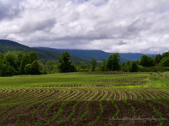 shaker-cornfield