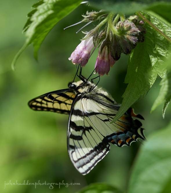 swallowtail-comfry