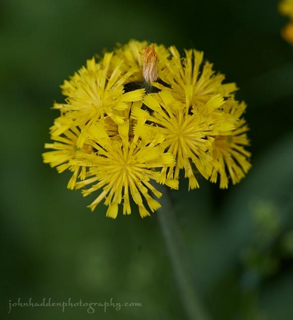yellow-hawksweed