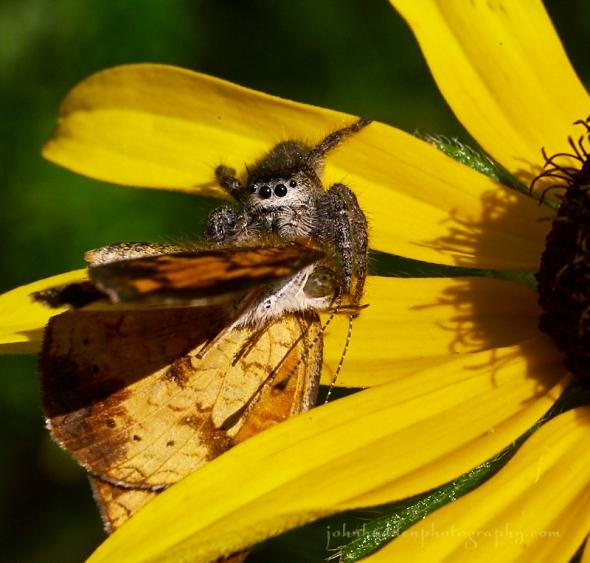 jumping-spider-butterfl7-2