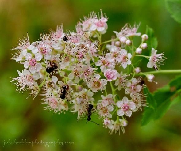 ants-spirea