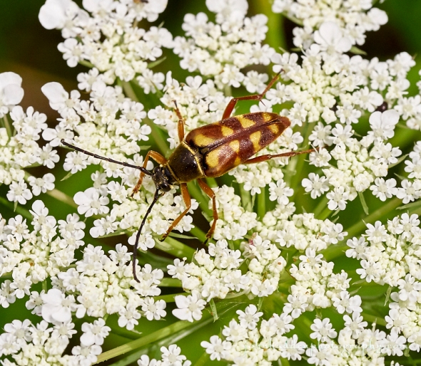 banded-longhonr-beetle