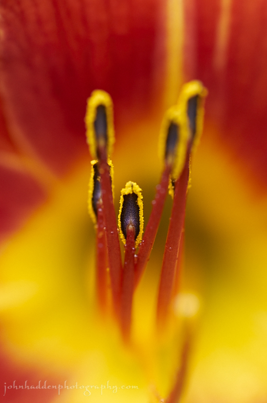 day-lily-close