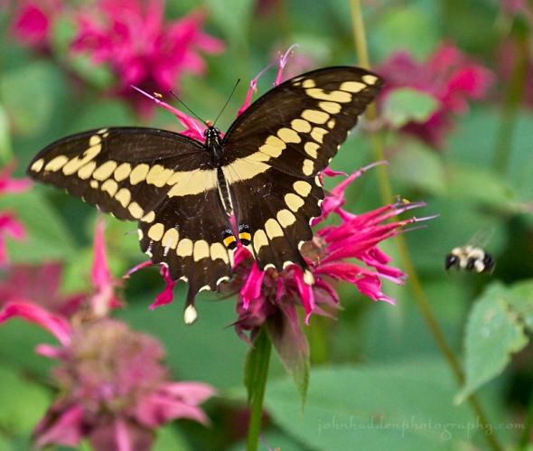 giant-swallowtail