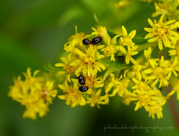 goldenrod-beetles.jpg
