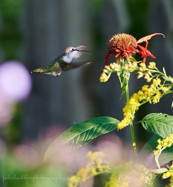 hummingbird-bee-balm