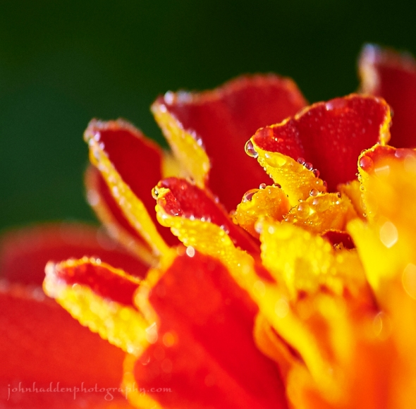 marigold-rain