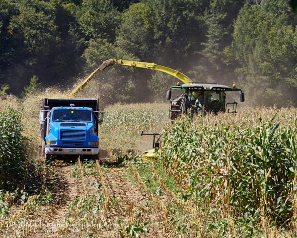chopping-corn