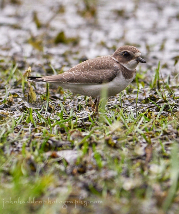 common-ringed-plover