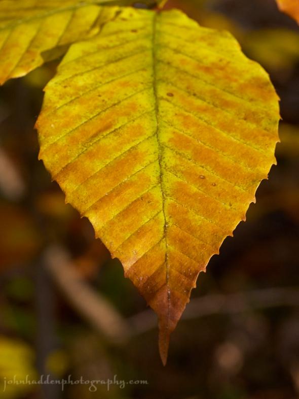 beech-leaf-fall