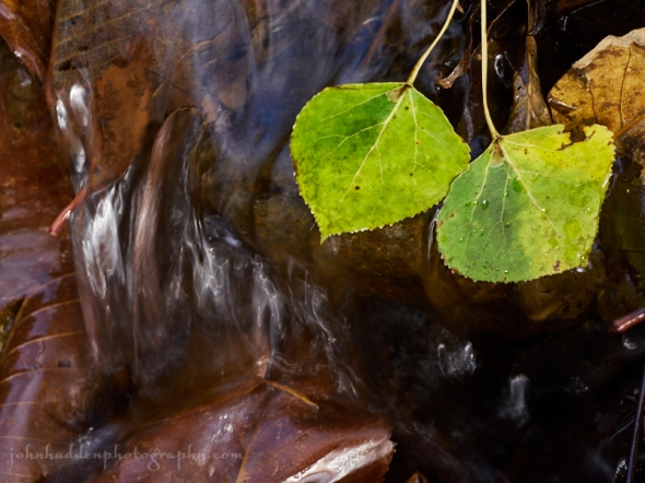 poplar-leaves-water