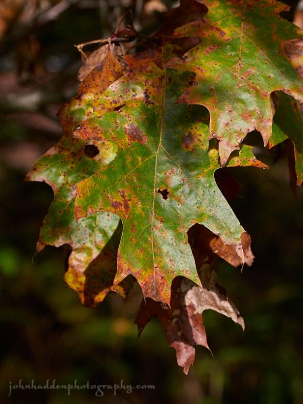 rusting-oak-leaves