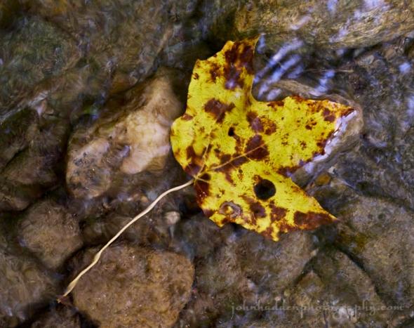 submerged-maple-leaf