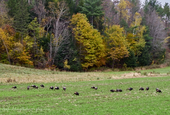 turkeys-cornfield