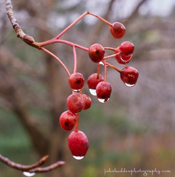 ash-berries copy