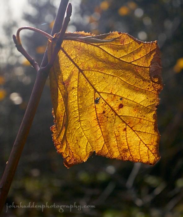 backlit-maple