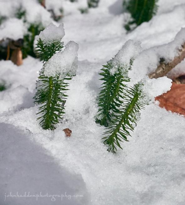 club-moss-snow