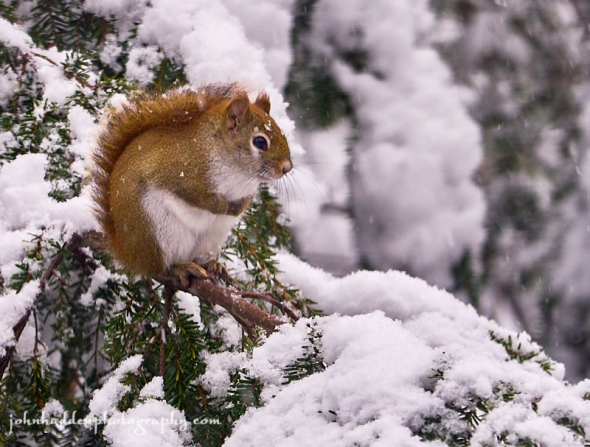 red-squirrel-snow