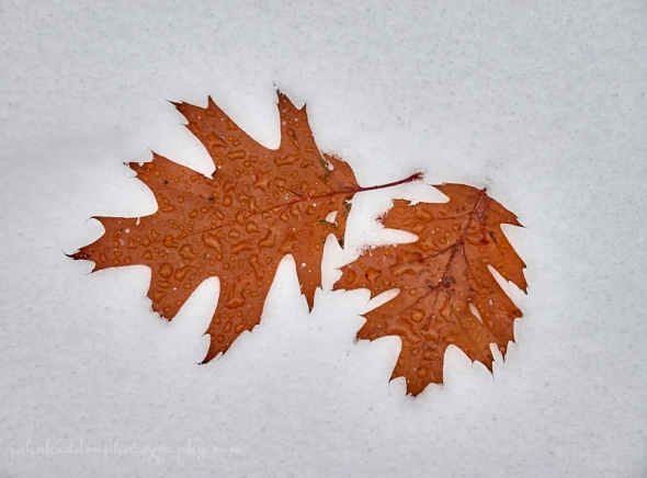 two-oak-leaves