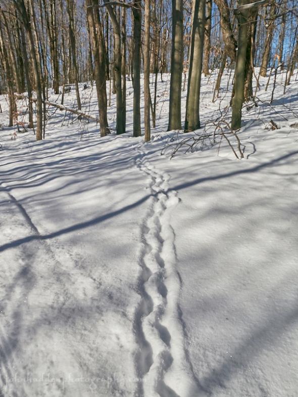 porcupine-tracks
