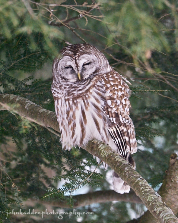 napping-owl