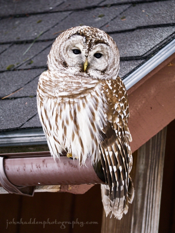 barred-owl-gutter