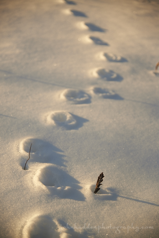 fox-tracks-snow