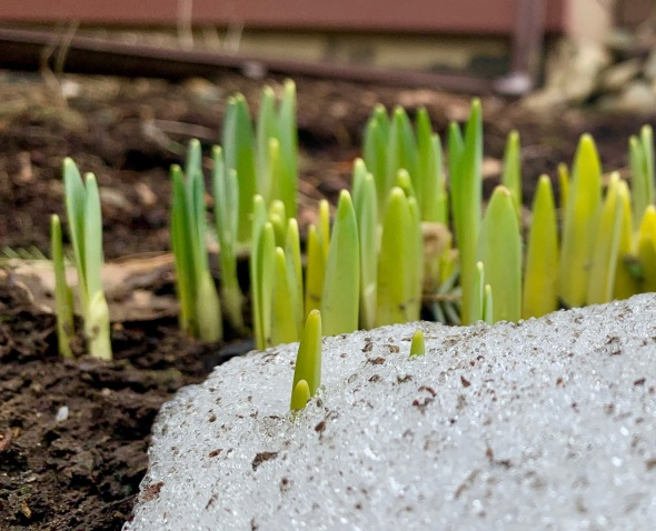 daffodil-sprouts