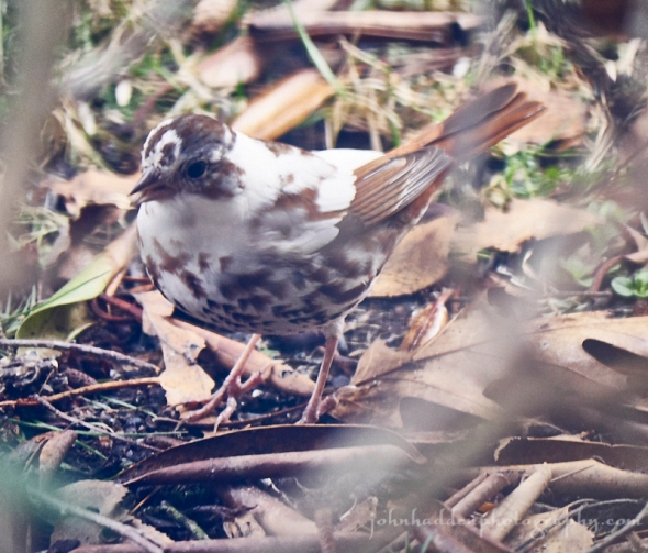 leucistic-fox-sparrow