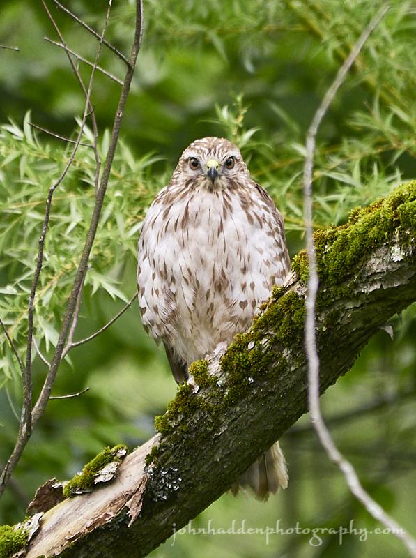 broadwing-hawk