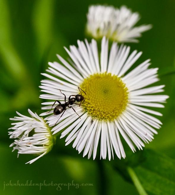 daisy-fleabane-ant