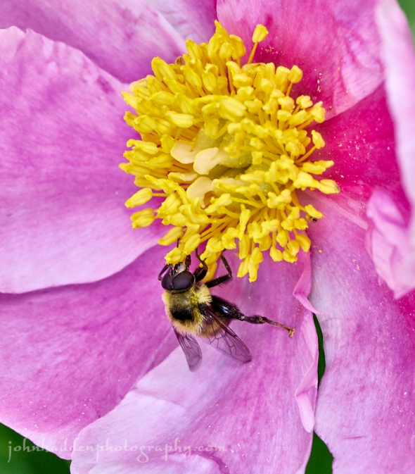 bee-fly-rose
