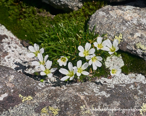 mountain-sandwort
