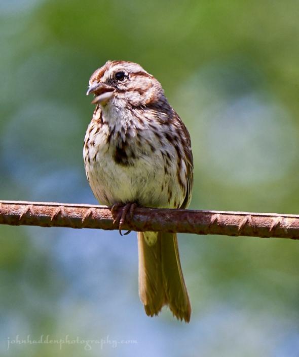 song-sparrow-fledgling