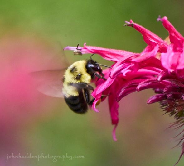 bumble-bee-bee-balm