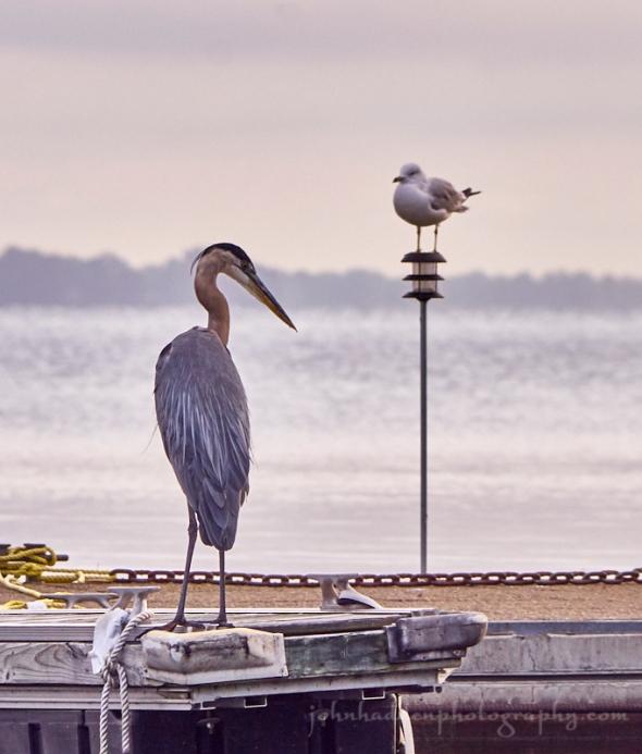 heron-gull-ladds