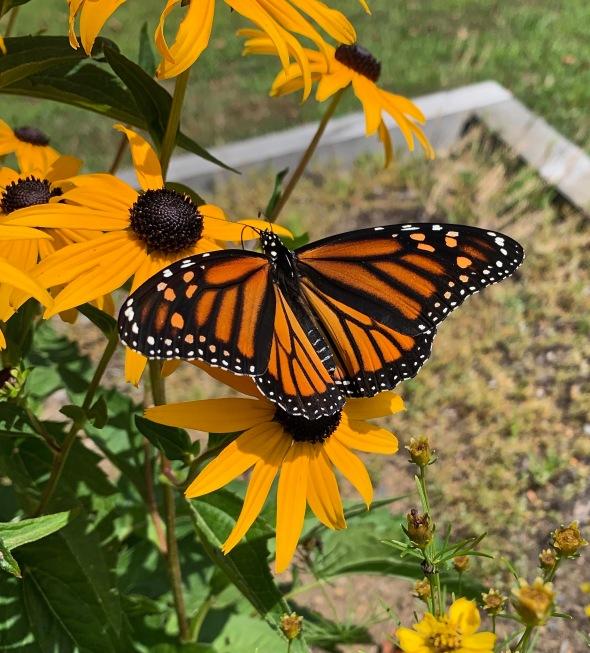 monarch-susans