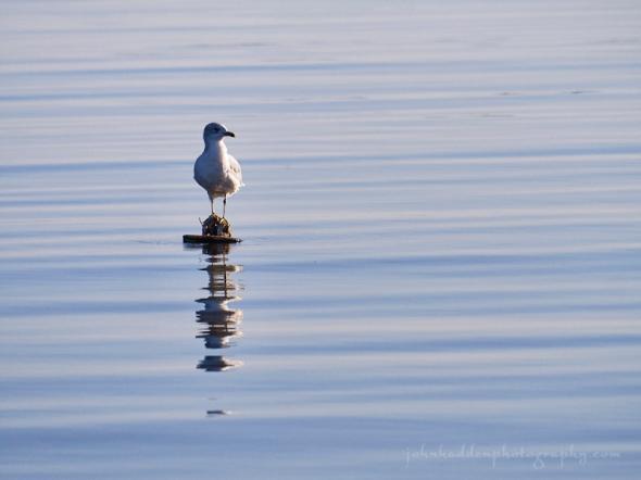mooring-gull