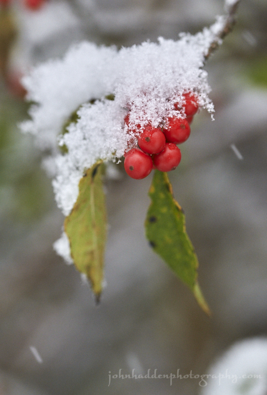 holly-berries-snow