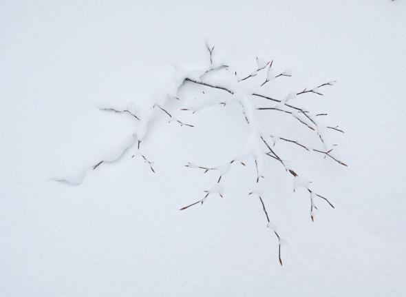 beech-sapling-snow