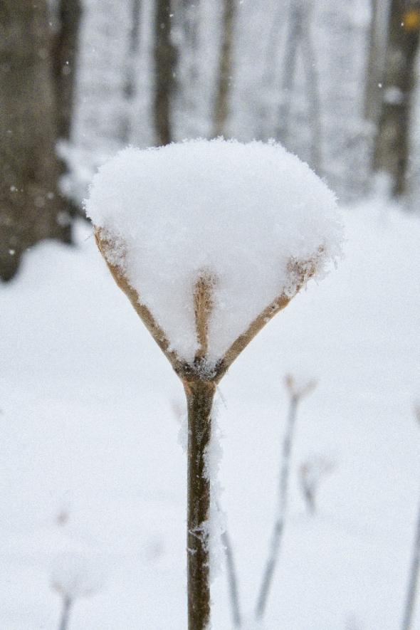 maple-buds-snow