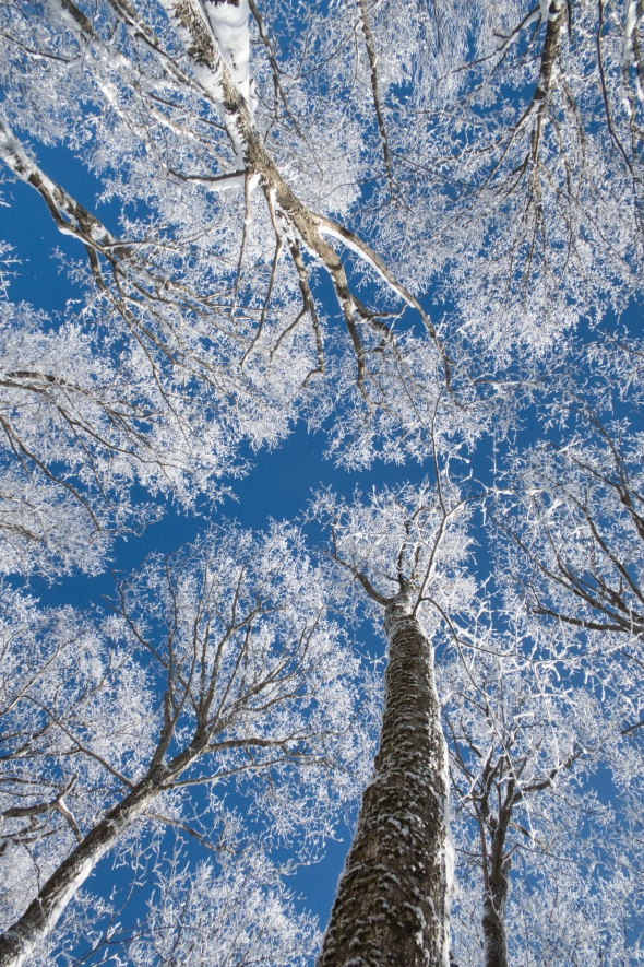 snowy-canopy