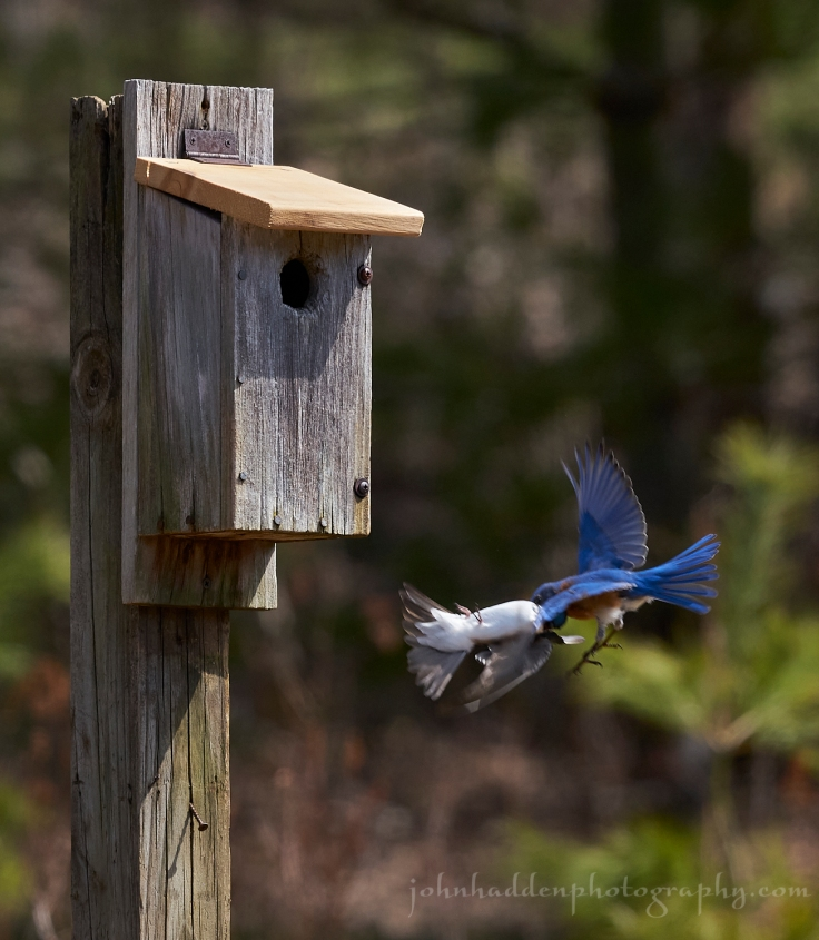 bluebird-swallow-fight