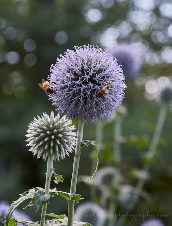 bees-globe-thistle