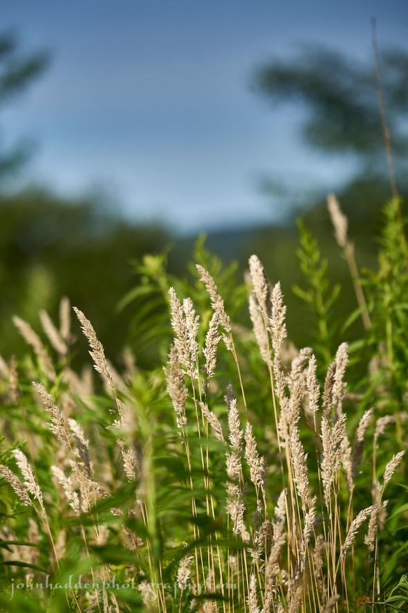 grass-seedheads