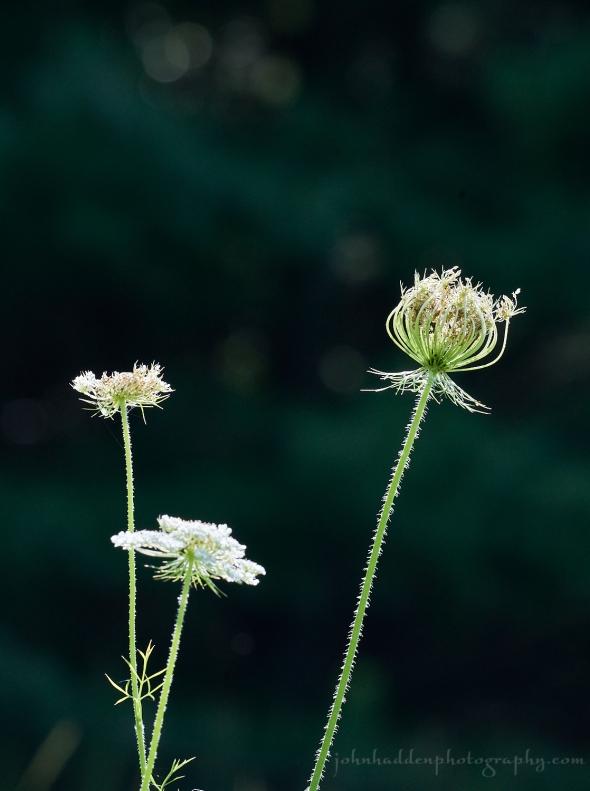 queen-annes-lace-backlit